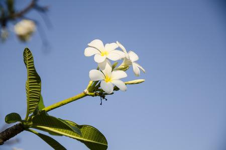 plumeria flower: Plumeria flower.
