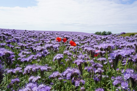 tuft: Poppy plant Stock Photo
