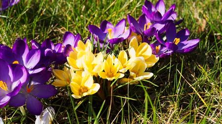 crocus: crocus blossoms Stock Photo