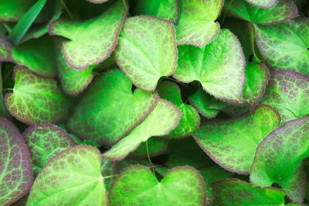 Alpine barrenwort Stock fotó - 61418652