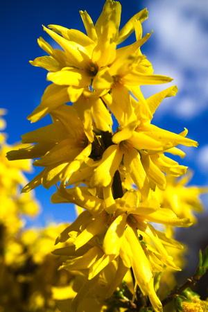 ornamental bush: yellow forsythia blossoms