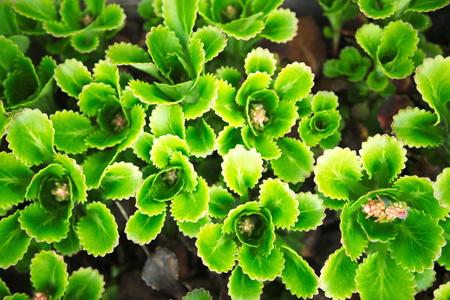 jagged: jagged leaf