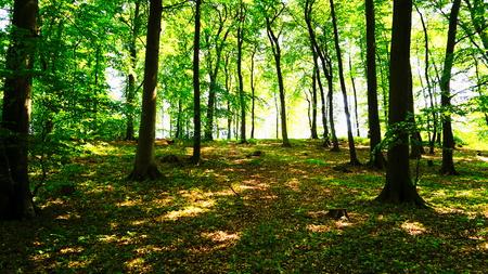 light-flooded beech forest Stock Photo