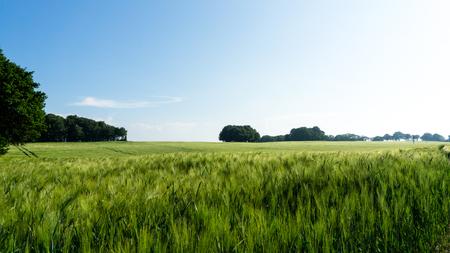 broad leaf: green barley field on island Ruegen