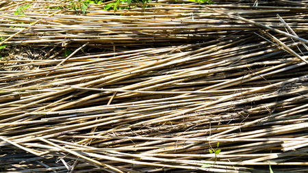 timbering: harvested reed grass Stock Photo