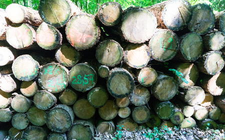 raw timber in the forest