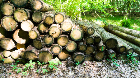 forestation: raw timber in the forest