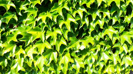 wall with ivy leaves Stock Photo