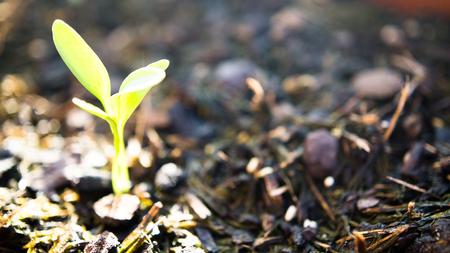 culantro: pequeña planta de cilantro Foto de archivo