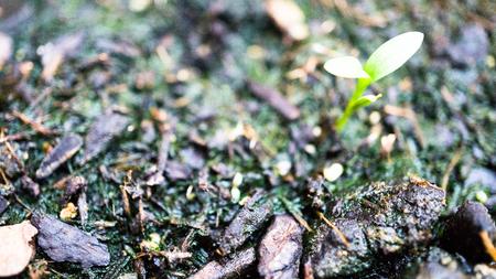 culantro: peque�a planta de cilantro Foto de archivo