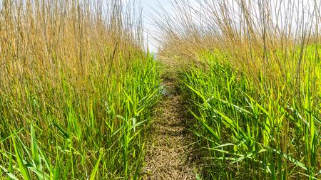 path through the reed grass