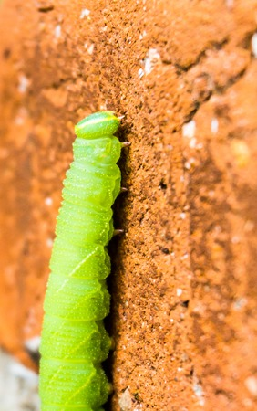 green inchworm climbing up house wall