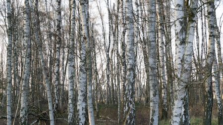 lots of birch stems in a wood Stock fotó
