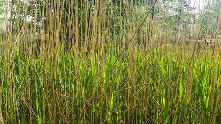 reed grass in a park