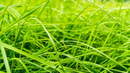 green blades of grass in garden with dew drops