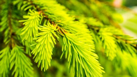 Serbian spruce fresh growing needles of a conifer tree