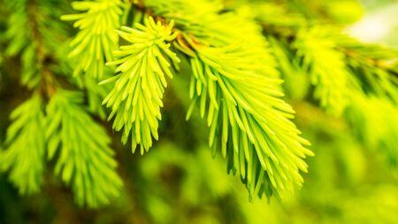 Serbian spruce fresh growing needles of a conifer tree