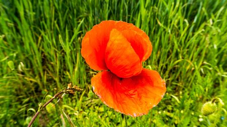 red blooming corn poppy plant next to farmland Stock fotó