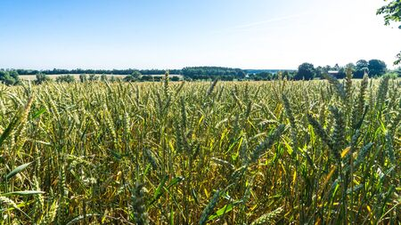 Mecklenburg landscape view - wheat field with meadows and forests in background Stock fotó