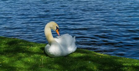 white swan at the shore of a lake