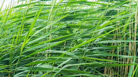 closeup of reed grass field Stock fotó