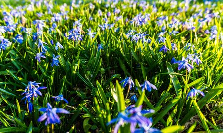 Alpine squill flowers on meadow in spring in sunset light