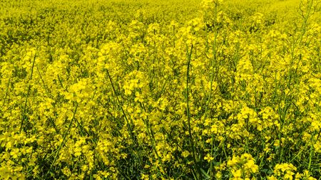 yellow rape field blooming in spring