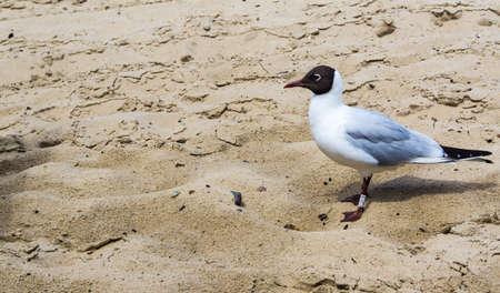 black-headed gull on the beach