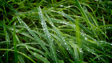 green blades of grass with dew drops