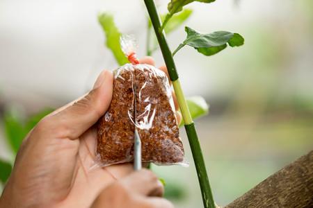 Landbouwtechniek voor het enten van citroentakken