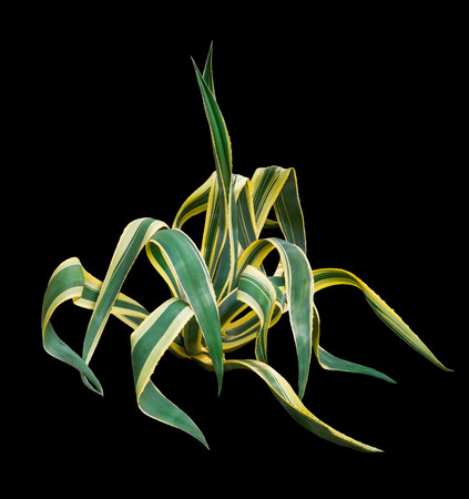 Agave on a black background photo