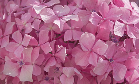 bigleaf hydrangea: Bigleaf hydrangea flowers  Texture