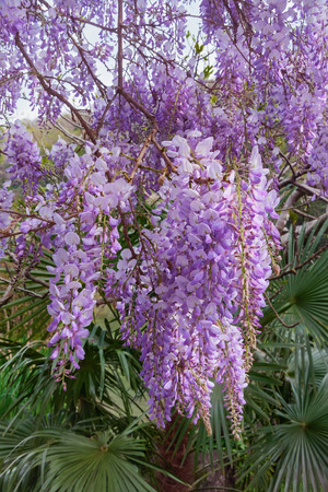 Blooming wisteria photo