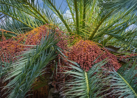 date palm tree: Date palm tree with dates Stock Photo