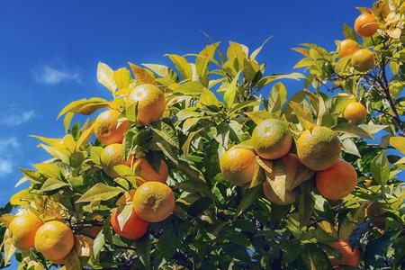 tangerine tree: Branches of tangerine tree in autumn Stock Photo