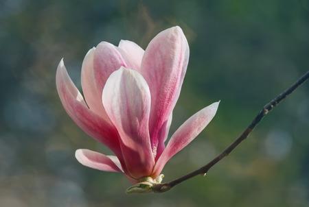rose coloured: Flower of Magnolia soulangeana