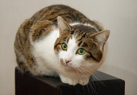 trichromatic: Close-up portrait of young adult cat sitting on large audio speaker and looking at camera Stock Photo