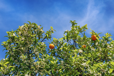 simultaneous: Branches of orange tree with flowers and ripe fruits on sky background