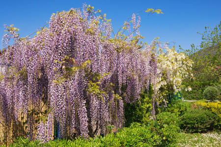 Springtime. Blooming wisteria in the Mediterranean garden Stock Photo