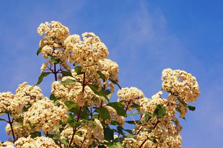 Springtime. White flowers of viburnum (Viburnum tinus) against blue sky. Free space for text