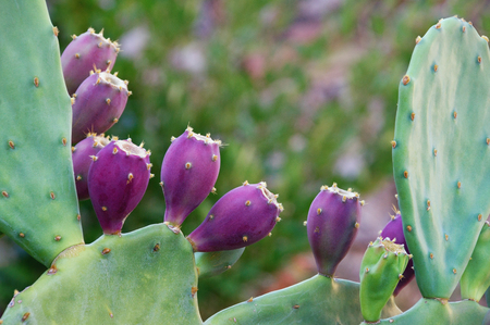 Opuntia ( prickly pear ) .  Green flattened leaflike stems and purple fruits