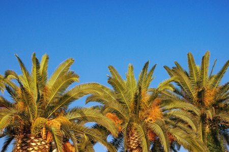 Leaves and fruits of Canary Island Date Palms (Phoenix canariensis) against a blue sky. Free space for text. Vacation concept 免版税图像