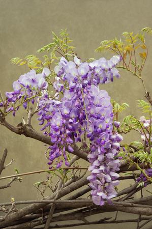 Spring flowers. Blooming wisteria vine