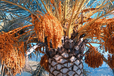 Canary Island Date Palms (Phoenix canariensis) with leaves and fruits on bright sunny day. Vacation concept. Color toning Stock fotó