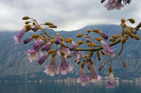 Flowers of Paulownia tomentosa tree on cloudy spring day. Bay of Kotor, Montenegro