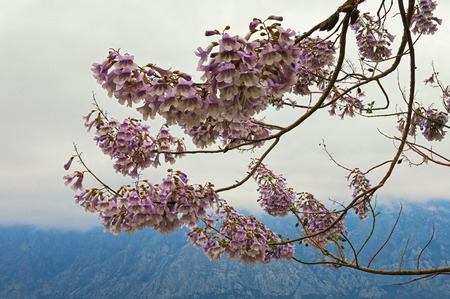 Branches of a Paulownia tomentosa tree in bloom on a cloudy spring day.  Montenegro