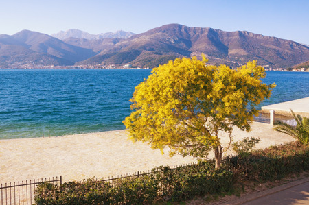Springtime. View of the Bay of Kotor and the flowering tree of mimosa ( Acacia dealbata ) on a sunny spring day. Montenegro