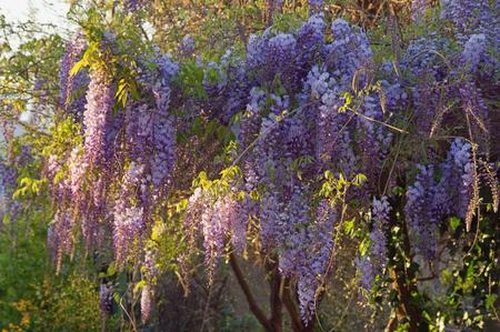 Spring flowers. Blooming wisteria vine in Mediterranean garden Stock Photo