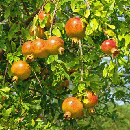 Autumn. Branch of pomegranate tree (Punica granatum) with leaves  and ripe fruits on a sunny day