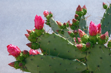 Flattened leaflike stems and flowers of Opuntia ( prickly pear )